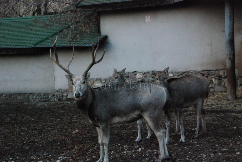 Czarny i biały jeleni duchy od horroru wychodzili dla spaceru obraz royalty free