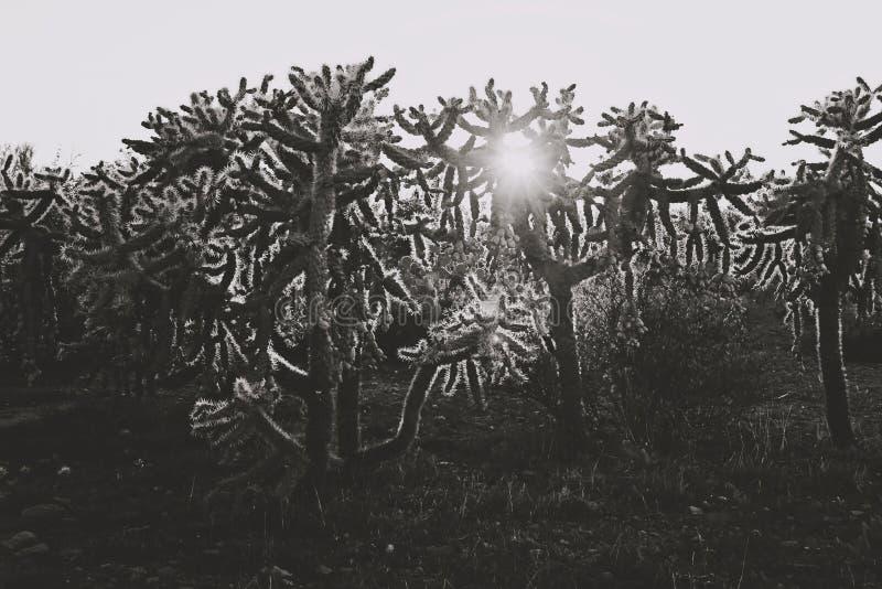 Czarny i biały kaktusy z słońca jaśnieniem fotografia royalty free