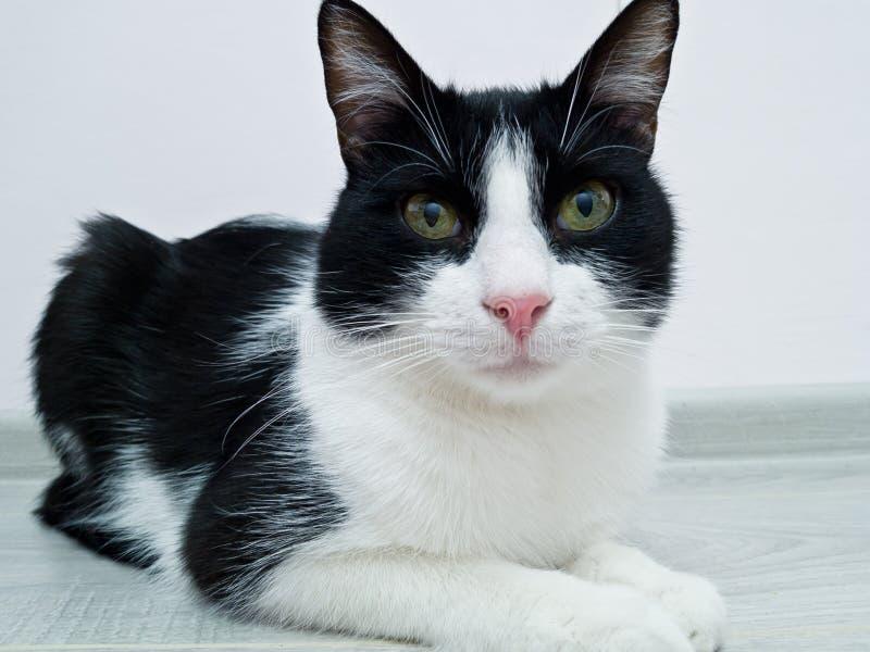 Czarny i biały kot adolescencja kłama w pokoju przed białą ścianą Patrzejący dla mistrza ciekawego spojrzenie, oglądający zdjęcia stock