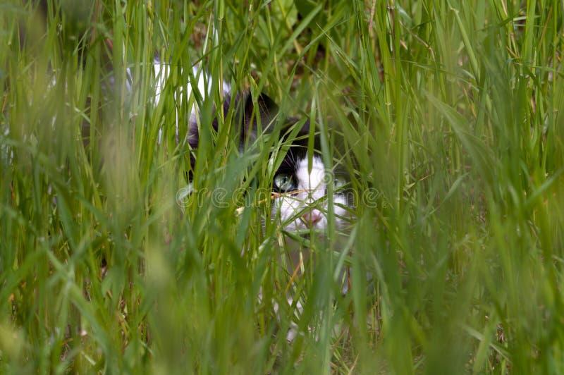 Czarny i biały kot chuje w trawie zdjęcia stock