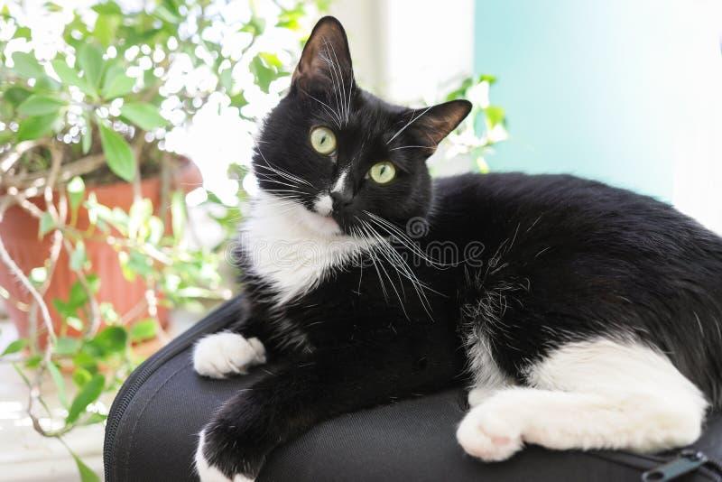 Czarny i bia?y kot k?ama przed okno z zielonymi salowymi kwiatami obraz royalty free