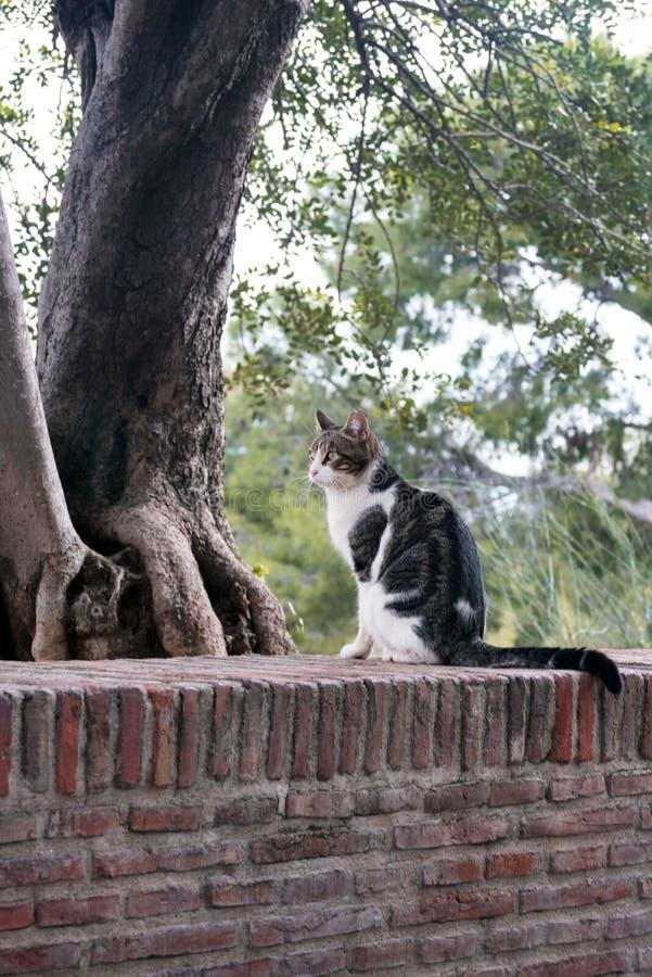 Czarny i biały kot Malaga który żyje w fortecy Gibralfaro, fotografują przeciw tłu iglaści drzewa zdjęcie royalty free
