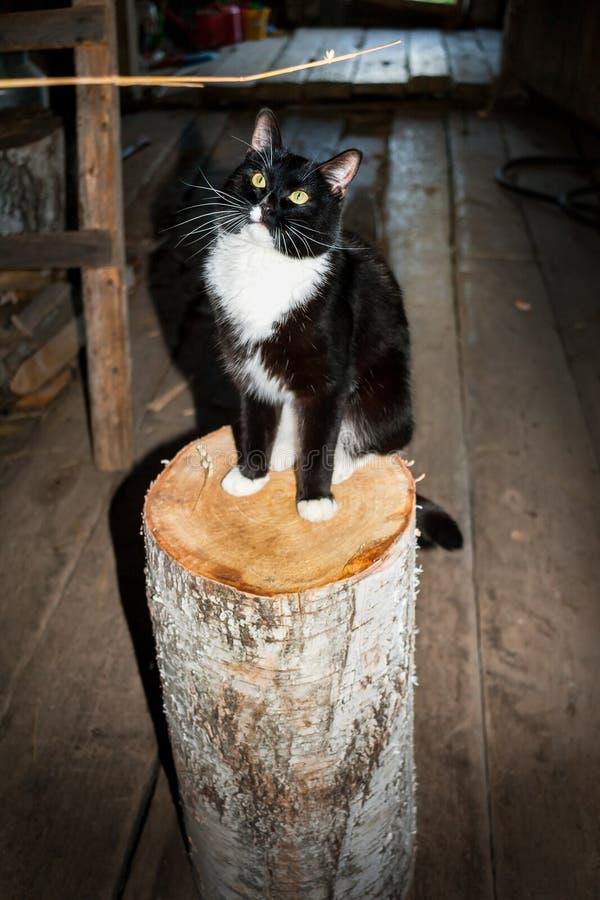 Czarny i biały kot siedzi na brzoza drewnianym fiszorku w wiosce obraz stock