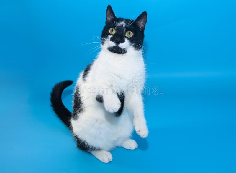 Czarny i biały kot stoi na swój tylnych nogach na błękitnym backgro obraz stock