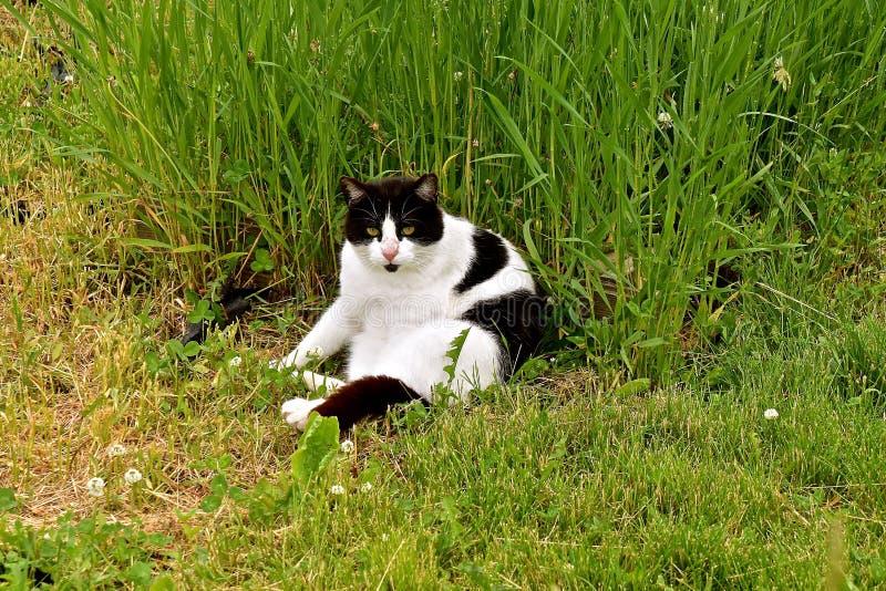 Czarny i biały kot sunning w trawie obraz royalty free