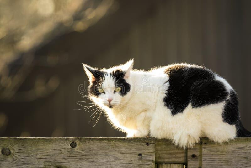Czarny i biały kota odprowadzenia ogrodzenie fotografia stock