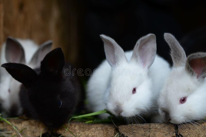 Czarny I Biały królików jeść fotografia royalty free