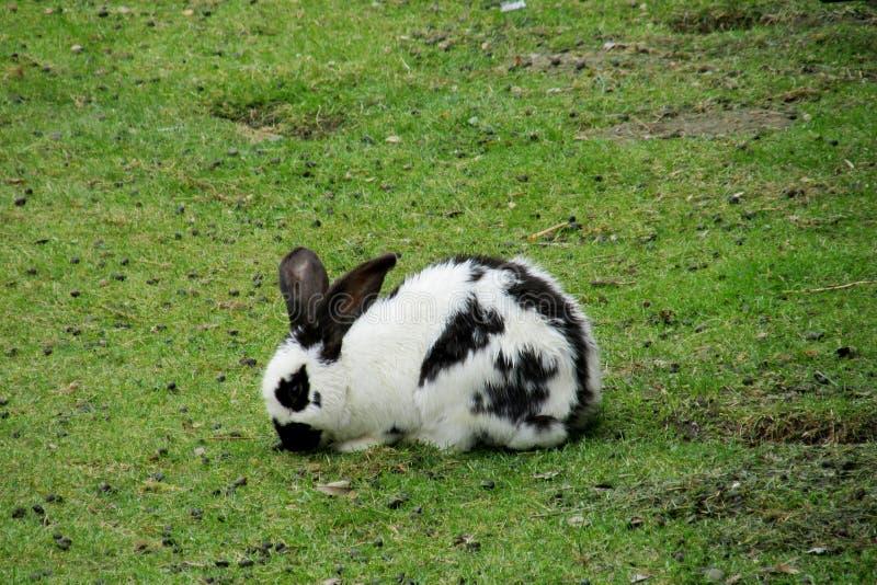 Czarny i biały królik na zielonej trawie obrazy royalty free