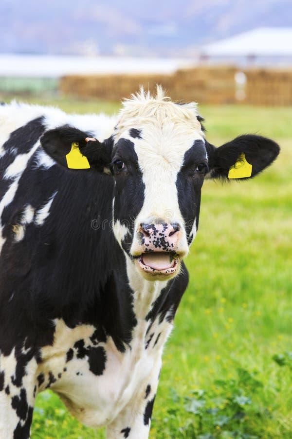 Czarny I Biały krowa fotografia stock