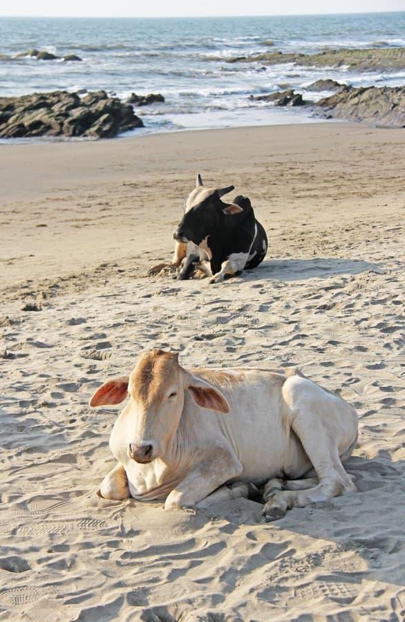 Czarny i biały krowa, byka odpoczynek na plaży na morzu lub kłamstwo lub, zdjęcie royalty free