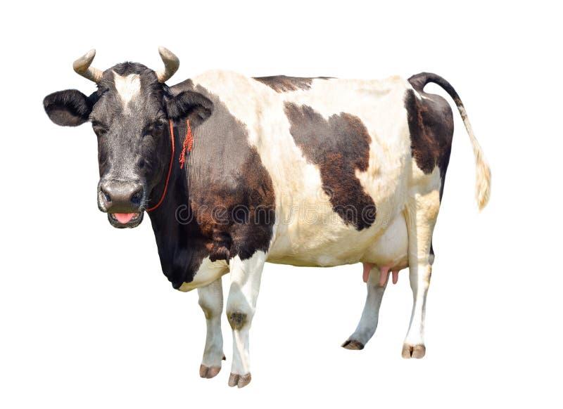Czarny i biały krowa z wielkim udder odizolowywającym na białym tle Łaciasta śmieszna krowa folował długość odizolowywającą na bi obraz stock