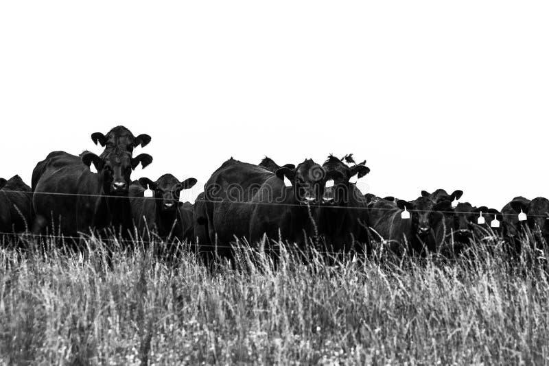 Czarny i biały krowy za eklektyka ogrodzeniem zdjęcie stock