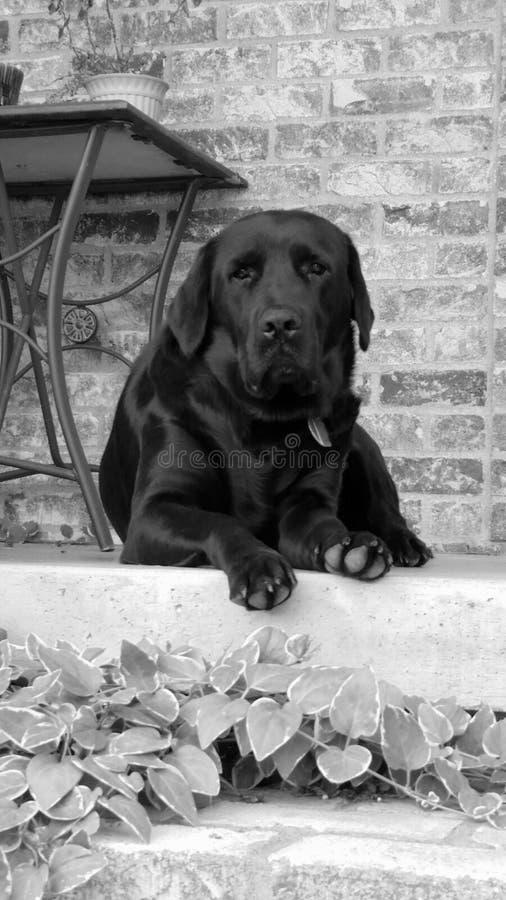 Czarny I Biały Leah pies zdjęcie royalty free