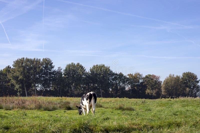 Czarny i biały młoda krowa, cielica, traken bydło MRIJ z malutkimi udders w holandiach, stoi łąkę obrazy royalty free