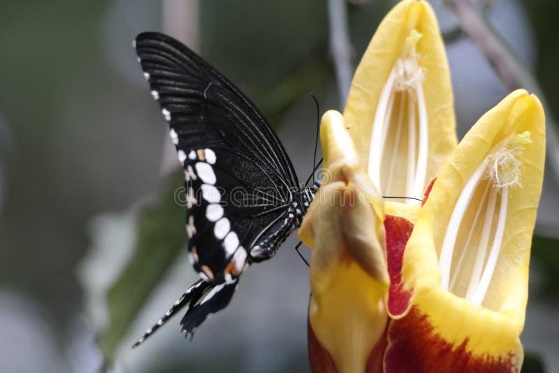 Czarny i biały motyl zdjęcia royalty free
