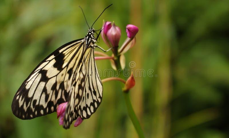 Czarny i biały motyl zdjęcie stock
