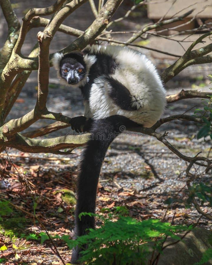 Czarny i biały napuszony lemur w drzewie zdjęcie royalty free
