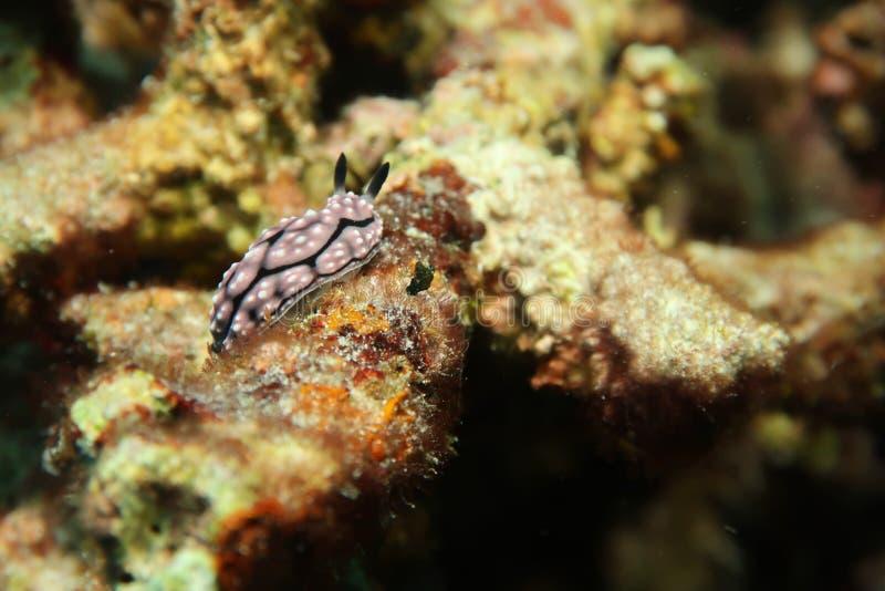 Czarny i biały Nudibranch obrazy royalty free