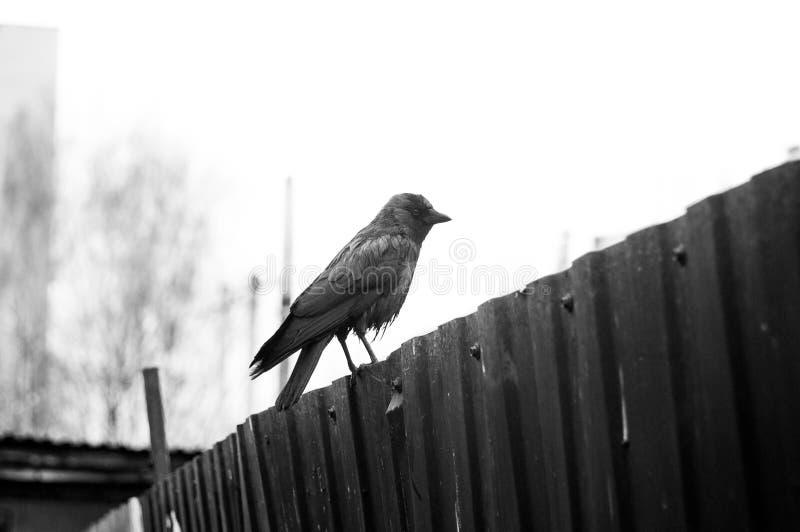 Czarny i biały obrazek pojedynczy ptasi sylwetki obsiadanie na dachu obrazy royalty free