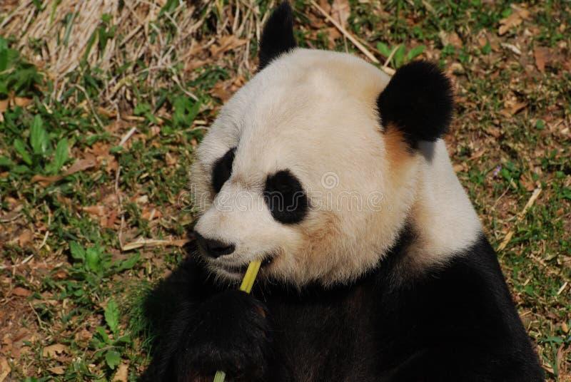 Czarny I Biały panda niedźwiedź Je Zielonych Bambusowych krótkopędy obraz royalty free