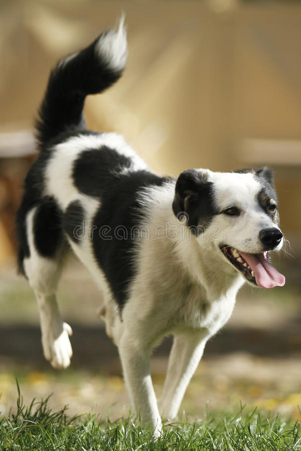 Czarny i biały pies obrazy stock