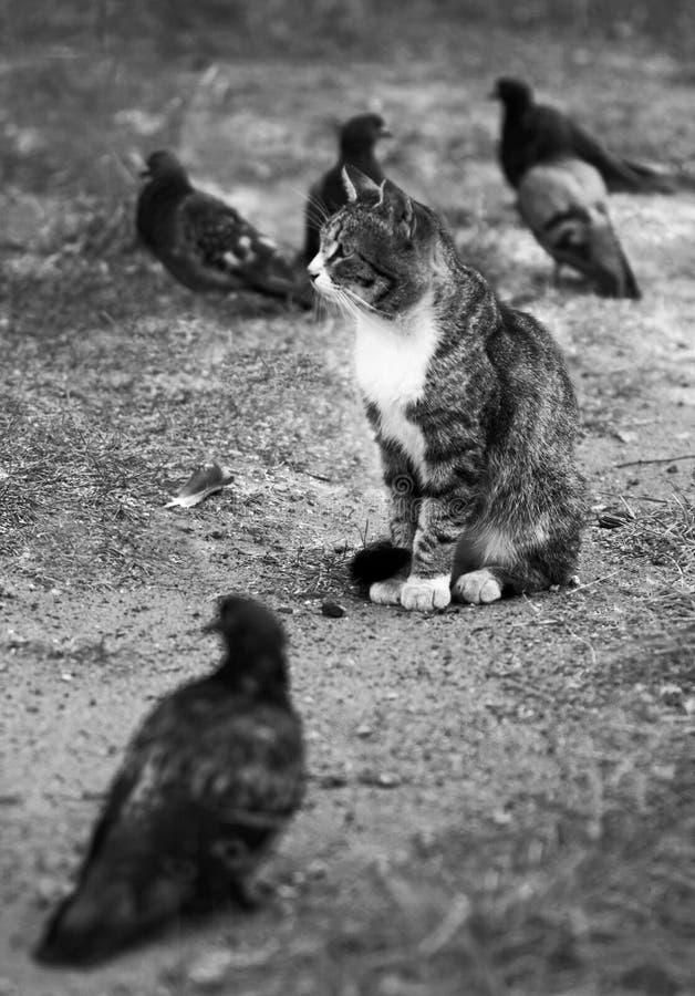 Czarny i biały portret bezdomny kot obrazy stock