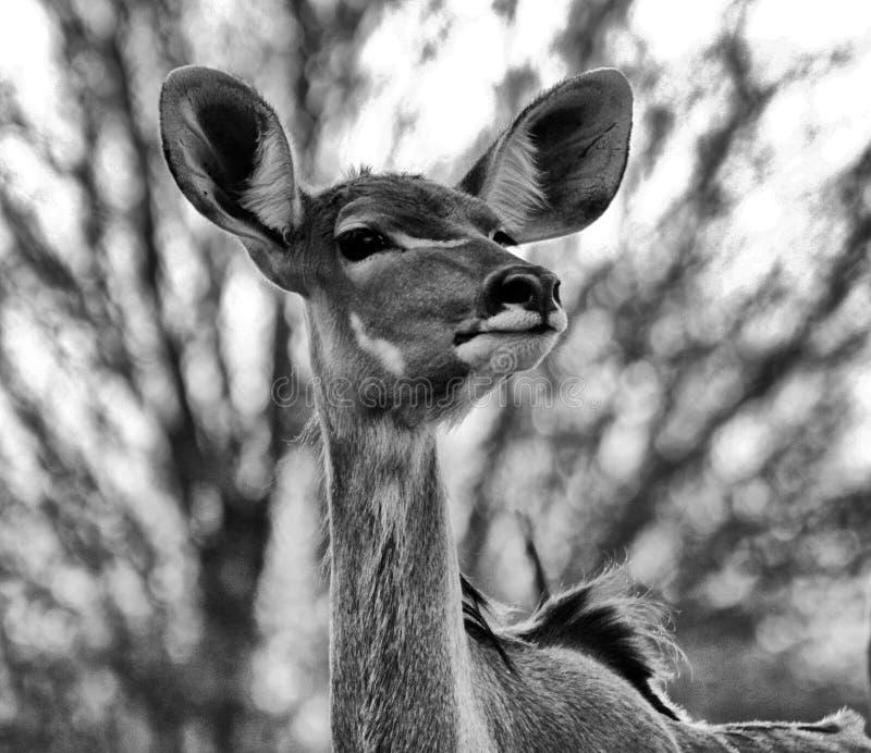 Czarny I Biały portret kudu krowa obraz royalty free