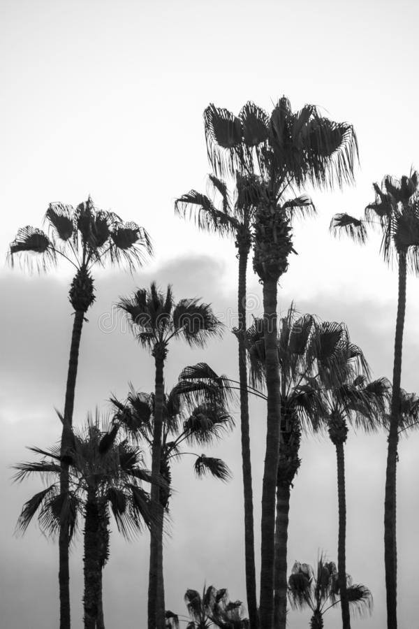 Czarny i biały portret orientacja drzewka palmowe przeciw niebu w Kalifornia fotografia royalty free