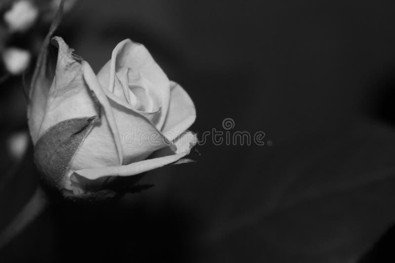 Czarny i biały róża obrazy stock