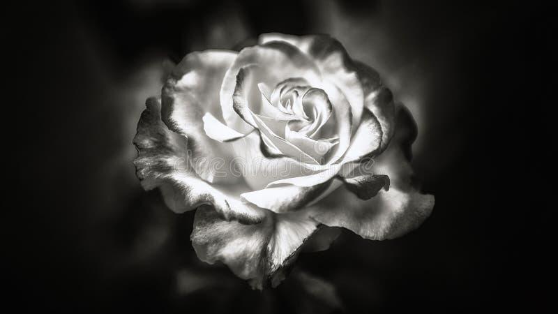 Czarny i biały róża fotografia stock