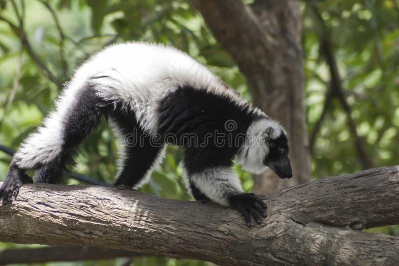 Czarny i biały Ruffed lemura, lemura wspinaczkowy drzewo/ zdjęcie royalty free