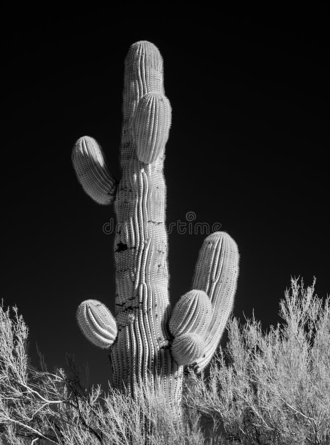 Czarny i biały Saguaro kaktus zdjęcia stock
