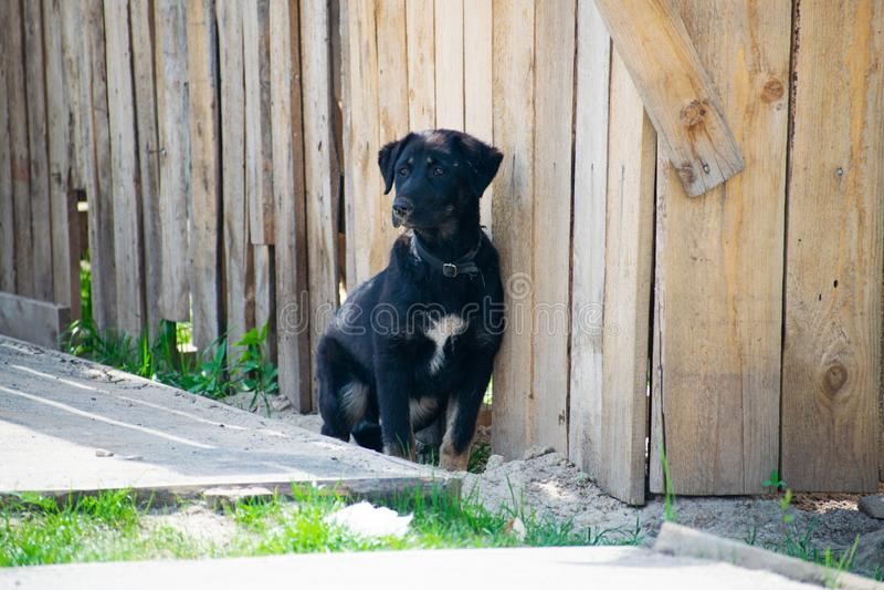 Czarny i biały szczeniak przy nieociosanym drewnianym ogrodzeniem Psi obsiadanie przed drewnianym ogrodzeniem zdjęcia stock