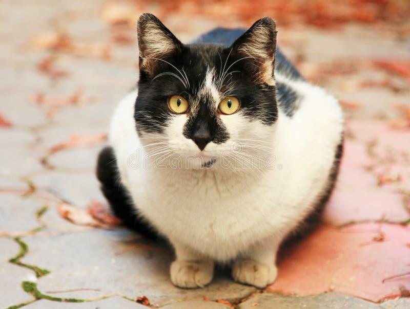 Czarny i biały tomcat stawia czoło kamerę fotografia royalty free