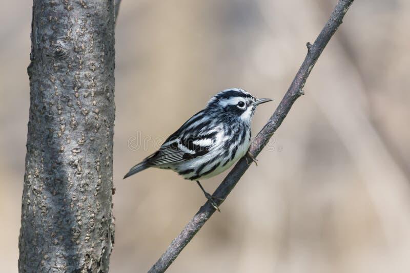 Czarny i biały warbler ptak zdjęcie stock