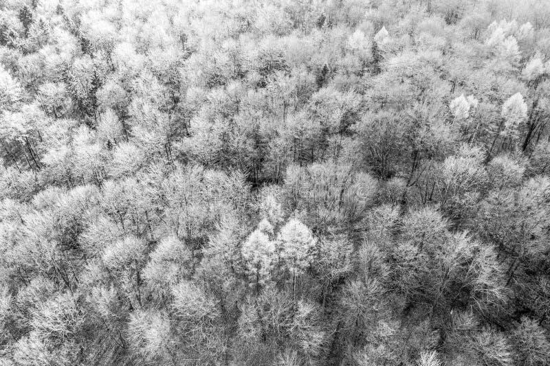 Czarny i biały widok z lotu ptaka deciduous las w zimie abstrakcjonistyczny wrażenie z drzewami które rzucali z ich liści, zdjęcia stock