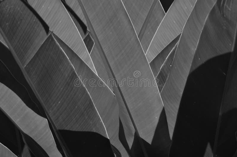 Czarny i biały wizerunek bananowi liście zdjęcia stock