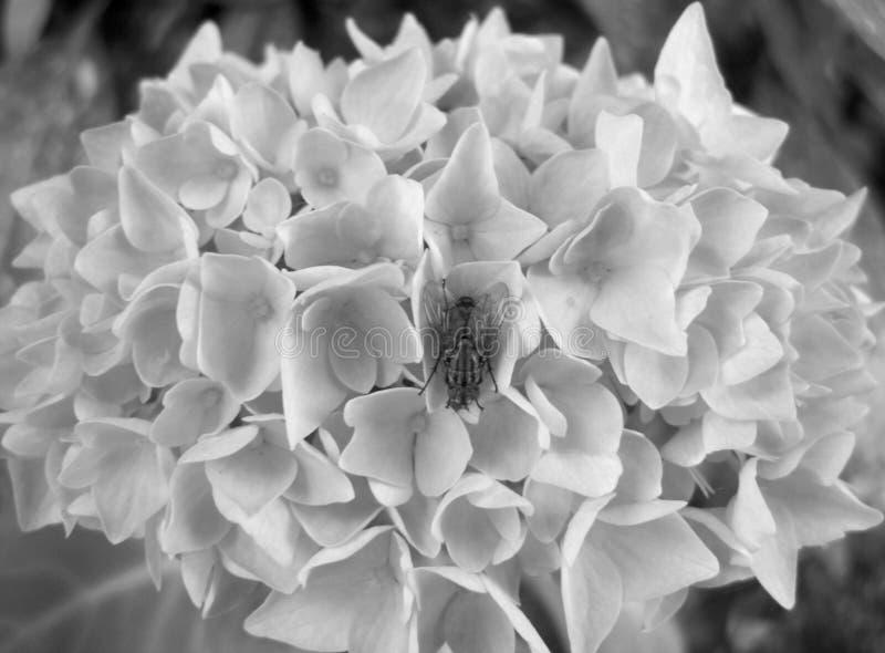 Czarny i biały wizerunek ciało komarnica na hortensja kwiacie zdjęcia royalty free