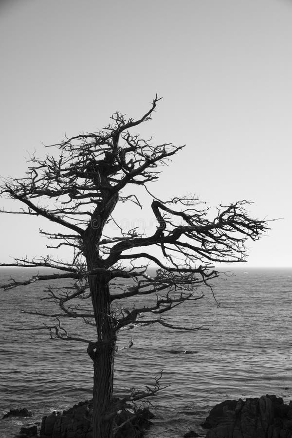 Czarny I Biały wizerunek - Pojedynczy Cyprysowy drzewo obrazy royalty free