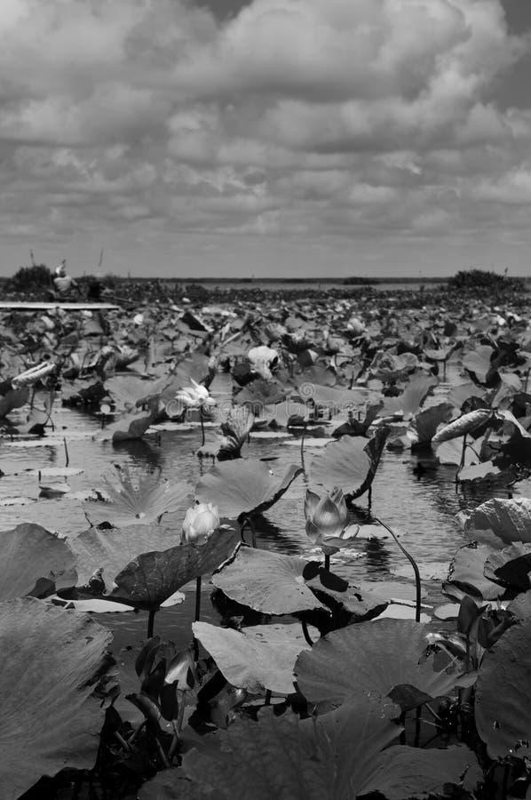 Czarny i biały wizerunku Lotosowy staw w Talay Noi ptactwa rezerwie, Ramsar bagna Songkhla jezioro resevior, Phattalung zdjęcie stock