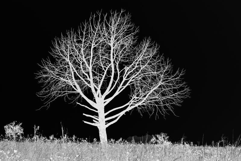 CZARNY I BIAŁY zboczeniec NAGI drzewo NA obszarze trawiastym zdjęcia royalty free