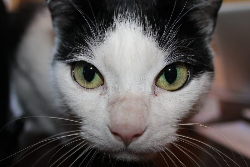 Czarny i biały zieleń przyglądający się kot obrazy royalty free