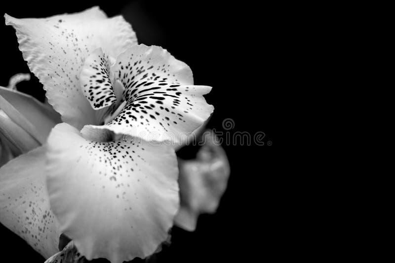 Czarny i bia?y kwiatu t?o obraz stock