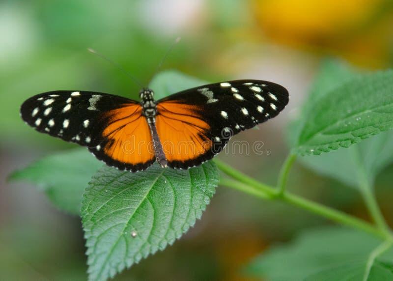 Czarny i pomarańczowy motyli obsiadanie na liściu obraz stock