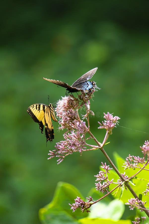 Czarny i Wschodni Tygrysi Swallowtail Butterfiles obrazy royalty free