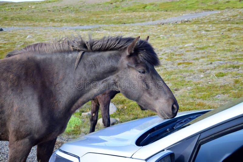 Czarny Islandzki koń na żwir drodze w Iceland ciekawie egzamininuje samochód fotografia stock