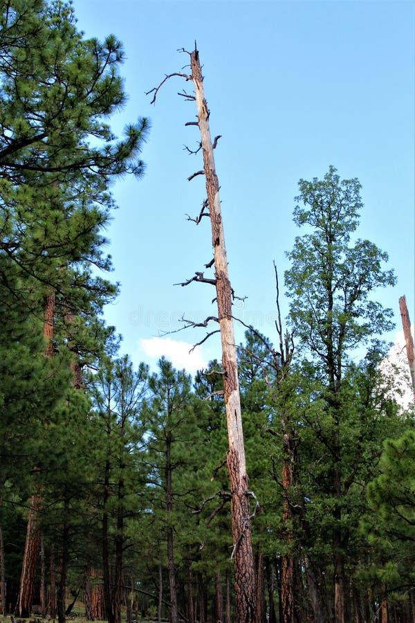 Czarny Jar jezioro, Navajo okręg administracyjny, Arizona, Stany Zjednoczone, Apache Sitegreaves las państwowy zdjęcia stock