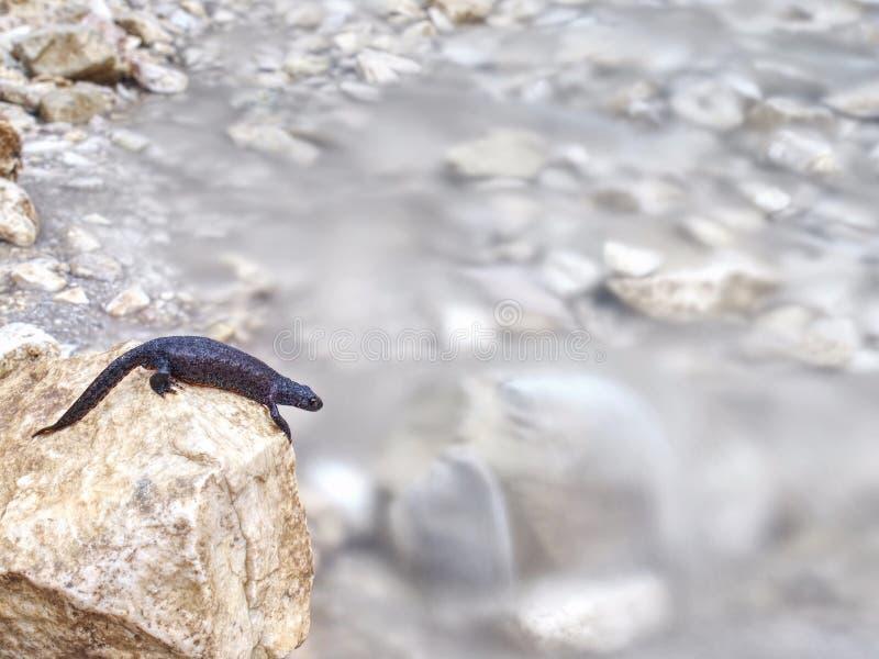 Czarny jaszczur - Płazi lying on the beach na kamieniu fotografia royalty free