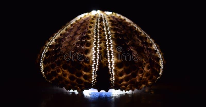 czarny jeż lampowy Tetrapygus Niger obraz stock