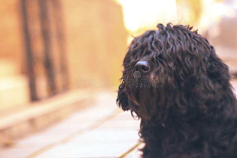Czarny kędzierzawy pies na bokeh tle zdjęcia stock